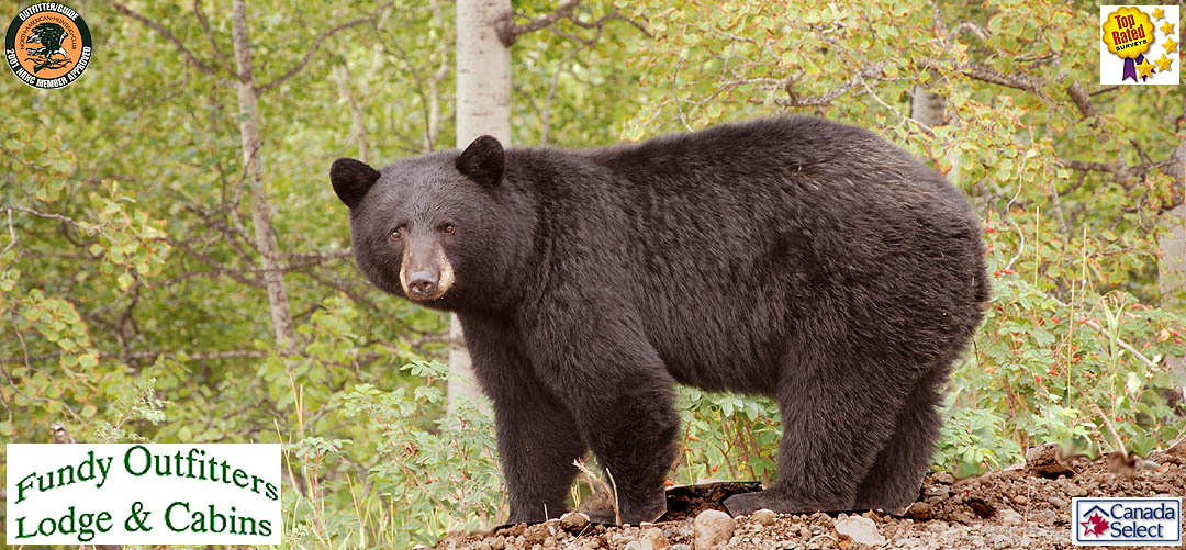 Trophy Black Bear hunts at Fundy Outfitters, Alma, NB, Canada